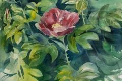 Rosa Rugosa Akvarell 49x35 cm 3000 mr