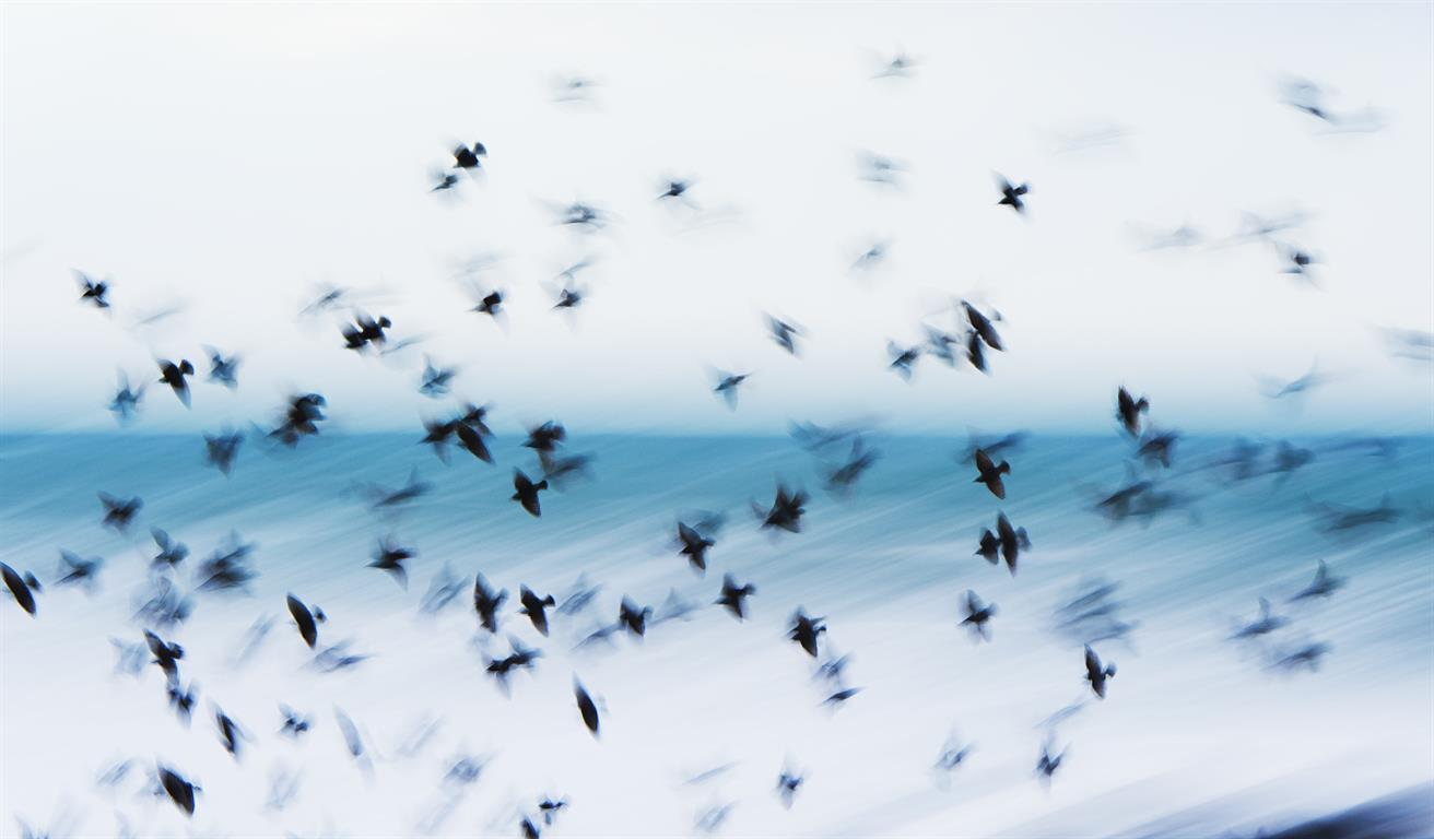 Fugler Digitalprint på Hahnemuele Barryta (40x70 cm) kr 2600 ur